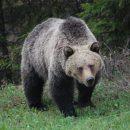 Канадец выжил после нападения бурого медведя
