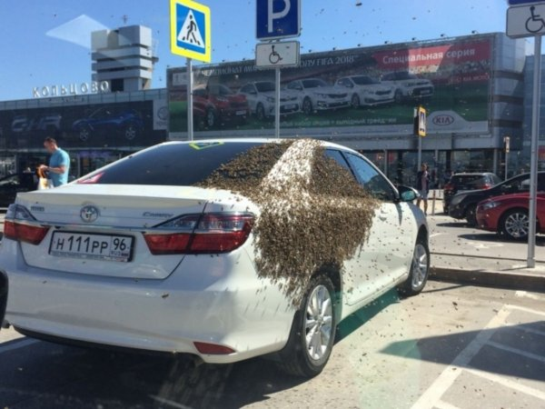 В Екатеринбурге пчелы атаковали Toyota, занявший парковку для инвалидов
