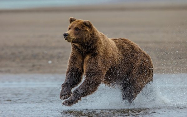 Бои без правил: Японец одолел медведя, который напал на него