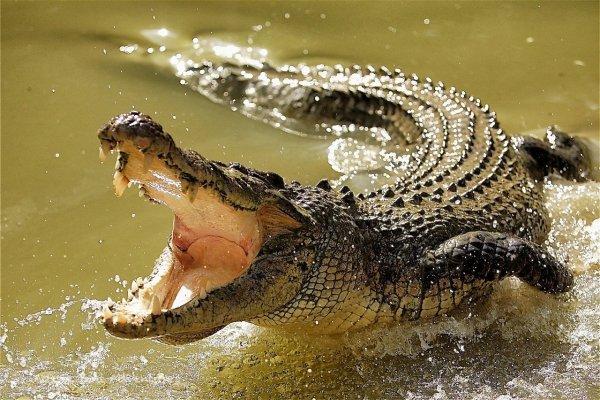 Крокодил в Австралии перегородил дорогу автомобилистам