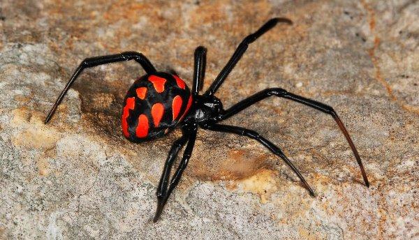 Ядовитые пауки каракурты распространяются по Ростовской области