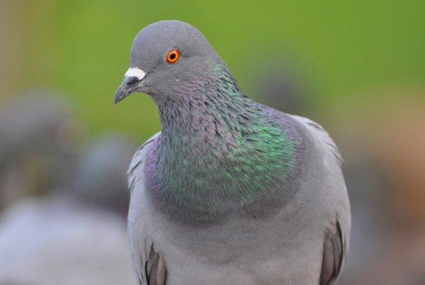 В Северной Ирландии строитель ради лайков откусил голову голубю