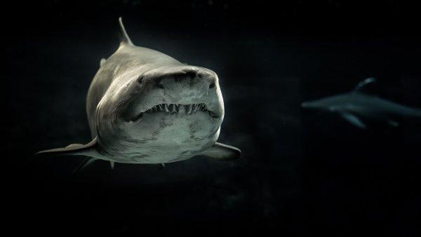 Останки доисторической мега-акулы нашли на пляже в Австралии