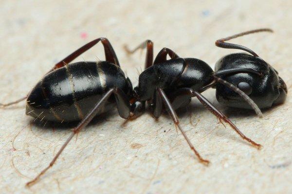 Итальянский муравей попытался ограбить ювелирный магазин