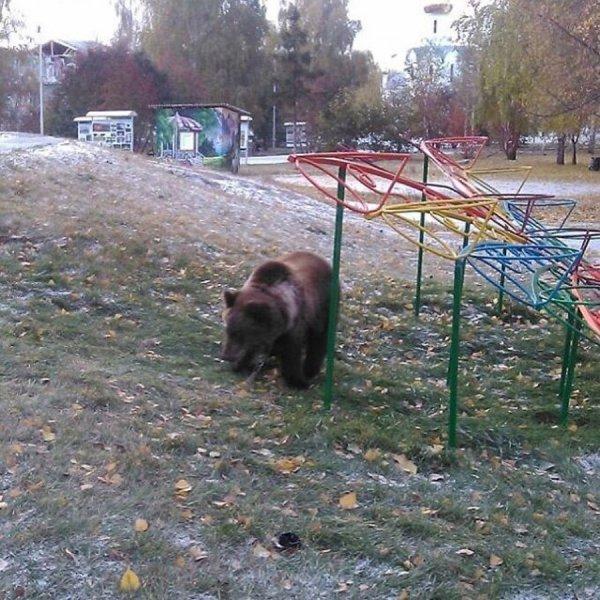 В центре Архангельска застрелили медведя, спасая мужчину