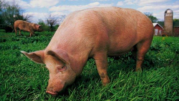 Под Воронежем возле школы нашли 23 тушки мертвых свиней