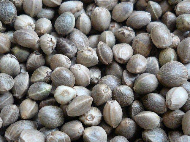 Уникальные целебные свойства конопляных семян