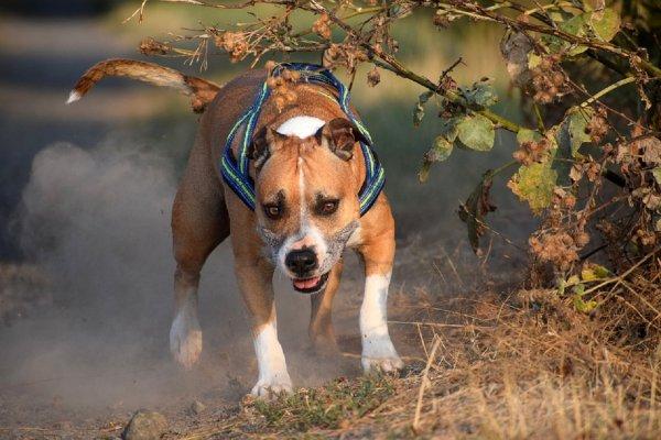 Бойцовский пес Адик с человеческой ногой в зубах довел до истерики жителей Ростова
