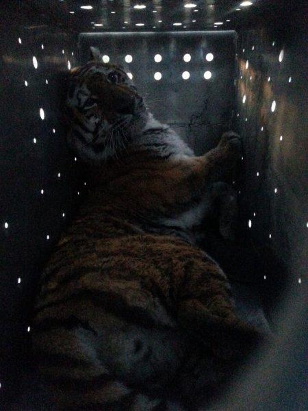«Жалко кису!!»: Больной тигр отловленный в октябре не смог выжить и скончался
